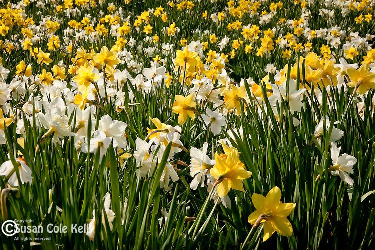Daffodils in Paul Revere Park, Boston, MA