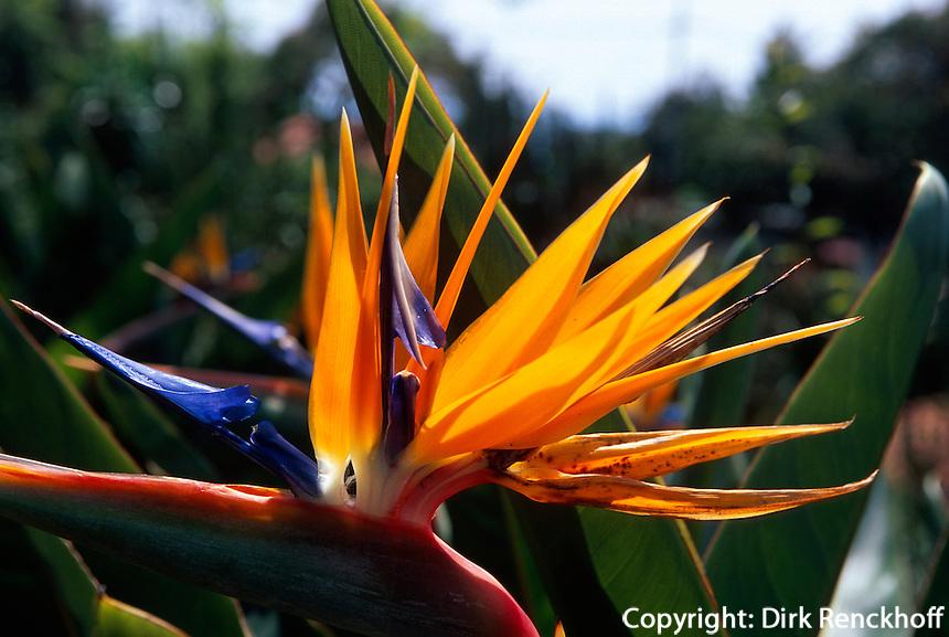 Portugal, Madeira, Blüte der Strelitzie (Strelitzia reginae)
