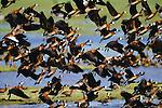 Whistling ducks, Venezuela (Digital composite)