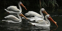 Breeding on lakes throughout the northern Great Plains and mountain West, the American White Pelican is one of the largest birds in North America. It winters along the coasts, but breeds only inland. Endangered.