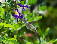 Anna's hummingbird, Calypte anna, at sage flower, Salvia sp. Santa Cruz Mountains, California