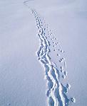 Hare tracks in snow, Sierra Nevada, California