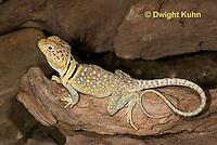 1R17-555z  Collared Lizard, Male, Crotaphytus collaris