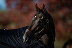 November 4, 2020: Civil Union, trained by trainer Claude R. McGaughey III, exercises in preparation for the Breeders' Cup Filly & Mare Turf at  Keeneland Racetrack in Lexington, Kentucky on November 4, 2020. Alex Evers/Eclipse Sportswire/Breeders Cup