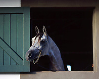 Fazenda de cavalo Árabe.<br /> <br /> <br /> <br /> O cavalo da raça Árabe é rapidamente identificado pela cabeça delicada, com seu perfil côncavo, olhos expressivos, orelhas pequenas e focinho curto.<br /> <br /> Igualmente, outra característica marcante é formado do pescoço e o seu porte: sinuoso e arqueado, chamado de cisne, e o cavalo o torna mais expressivo, elevando a cabeça. Cavalo Árabe JIMI.