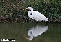 0315-0803  Great Egret Hunting for Food, Ardea alba © David Kuhn/Dwight Kuhn Photography