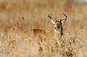 00274-310.07 White-tailed Deer Buck (DIGITAL) is in lowland meadow on fall day after recent snow.  Hunt, hunting.  H6R1