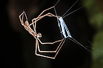 Net-throwing Spider or Ogre-faced Spider (Dinopsis sp.) with net. Active at night. Masoala National Park, Madagascar.