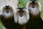 Lion-tailed macaque, indigenous to Western India. (captive)