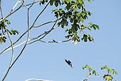 Pará State, Brazil. Xingu River; kingfisher diving.