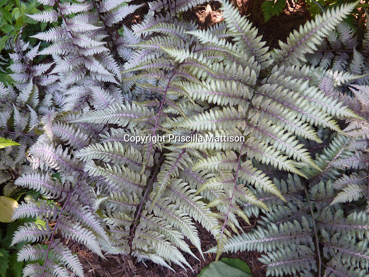 Closeup of Japanese painted fern