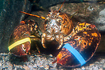 North American lobster, orange color phase.  This color occurs 1 in every 30 million lobsters. Face view.