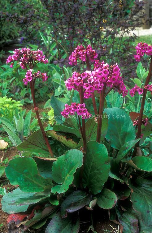 Bergenia cordifolia in flower