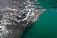 California Gray whale (Eschrichtius robustus) underwater in San Ignacio Lagoon on the Pacific Ocean side of the Baja Peninsula, Baja California Sur, Mexico. MORE INFO: Each winter thousands of California gray whales migrate from the Bering and Chukchi seas to breed and calf in the warm water lagoons of Baja California. San Ignacio lagoon is the smallest of the three major such lagoons. Current (2008) population estimates put the California Gray whale at between 20,000 and 24,000 animals.