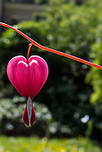 Switzerland. Red heart shaped flower.