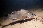 White Perch swimming right over sand bottom