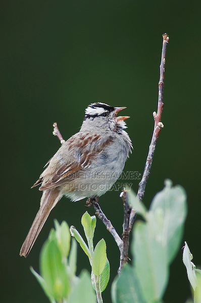 White-crowned Sparrow, Zonotrichia leucophrys, male singing in willow,Ouray, San Juan Mountains, Rocky Mountains, Colorado, USA