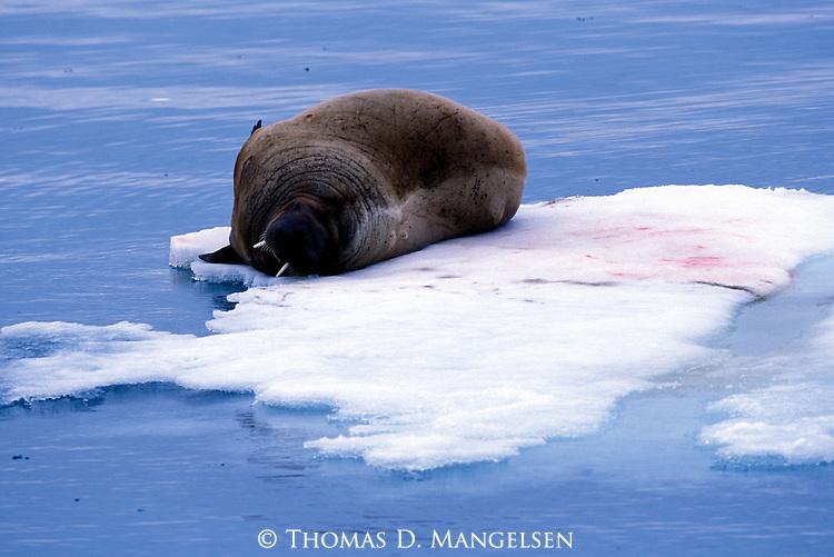 Walrus resting on ice in Svalbard, Norway.