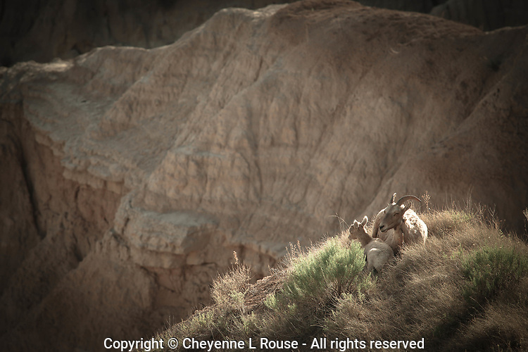Badlands Sweetness - Big Horn and baby. Badlands NP, South Dakota