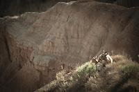 Badlands Sweetness - Big Horn and baby. Badlands NP, South Dakota