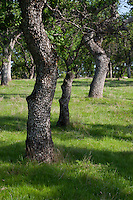 Oak trees stand along a hillside in the Calaveras County, California, foothills. Photographed 04/07