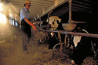 Amish youth feeding cows in a dairy shed. Amish young man. Strasburg Pennsylvania USA Lancaster County.