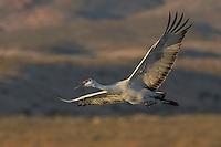 Sandhill Cranes, Bosque del Apache NWR