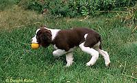 SH22-014z  Dog - English Springer puppy 11 weeks old