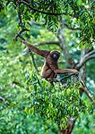 Mueller's gibbon, Tanjung Puting National Park, Borneo, Indonesia