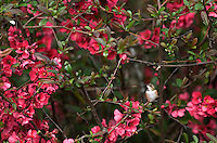 Hummingbird in quice bush. Near Alpine, Oregon