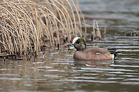 American Widgeon (Anas americana) in Southcentral Alaska. Photo by James R. Evans