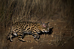 Black-footed Cat (Felis nigripes) female at night, Benfontein Nature Reserve, South Africa