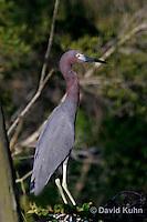 0203-08vv  Little Blue Heron,  Egretta caerulea © David Kuhn/Dwight Kuhn Photography