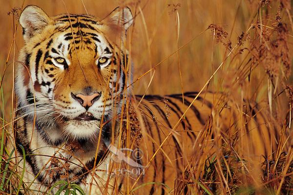 Bengal tiger in tall grass. (Panthera tigris)