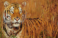 Bengal tiger in tall grass. (Panthera tigris)