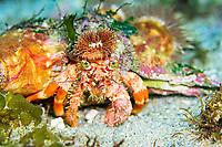 Hermit Crab, Dardanus pedunculatus and Anemone, Calliactis polypus, Shikine-jima island, Tokyo, Japan, Pacific Ocean