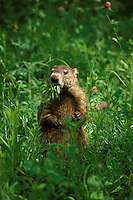 Groundhog, marata monax, or woodchuck, eating greens from the garden