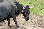 Kerry Cow 3/4 shot.  This species is considered to be one of the oldest cows dating back 2000 years and originally brought to North America from Ireland in the 17th Century.  The cow is typically jet black with black tip horns and is smaller than the typical dairy cow found around the world.