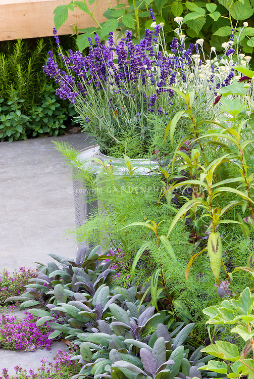Herb garden on the patio, Lavandula angustifolia lavender in recycled metal pot container, Salvia officinalis sage, thymus thymes in bloom, persicaria, mixture of varietites