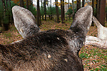 Bull moose close-up of top of head and ears walking away from camera.
