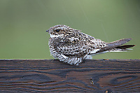 Adult male Common Nighthawk (Chordeiles minor) roosting in the rain on a fence. Sublette County, Wyoming. June.