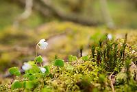 Carnach Woodland Wanderweg (Carnach Woodland Trail) nahe der Ortschaften Milltown und Applecross.<br /> Der Wanderweg fuehrt durch ein Gebiet der vor ca. 4.000 Jahren als mystischer Ort galt und von zahlreichen unterirdischen Energielinien durchzogen ist.<br /> Im Bild: Klee auf einem mit Moos ueberwachsenen Felsen.<br /> 23.5.2015, Highlands/Schottland<br /> Copyright: Christian-Ditsch.de<br /> [Inhaltsveraendernde Manipulation des Fotos nur nach ausdruecklicher Genehmigung des Fotografen. Vereinbarungen ueber Abtretung von Persoenlichkeitsrechten/Model Release der abgebildeten Person/Personen liegen nicht vor. NO MODEL RELEASE! Nur fuer Redaktionelle Zwecke. Don't publish without copyright Christian-Ditsch.de, Veroeffentlichung nur mit Fotografennennung, sowie gegen Honorar, MwSt. und Beleg. Konto: I N G - D i B a, IBAN DE58500105175400192269, BIC INGDDEFFXXX, Kontakt: post@christian-ditsch.de<br /> Bei der Bearbeitung der Dateiinformationen darf die Urheberkennzeichnung in den EXIF- und  IPTC-Daten nicht entfernt werden, diese sind in digitalen Medien nach §95c UrhG rechtlich geschuetzt. Der Urhebervermerk wird gemaess §13 UrhG verlangt.]