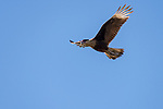 Damon, Texas; a Crested Caracara with wings spread, flying overhead against a blue sky in early morning sunlight