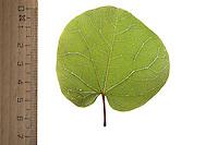 Gewöhnlicher Judasbaum, Cercis siliquastrum, Siliquastrum orbicularis, Judas tree, Judas-tree, L'Arbre de Judée. Blatt, Blätter, leaf, leaves