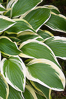 Hosta 'Showboat' variegated shade perennial foliage plant with wide white edge margin