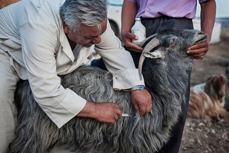 27/04/15. Awbar Village, Darbandikhan area, Iraq. -- Najm, 54, practice an injection on a goat to vaccinate it.