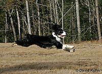 0730-0833  English Springer Spaniel Running, Canis lupus familiaris © David Kuhn/Dwight Kuhn Photography.