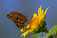Gulf Fritillary (Agraulis vanillae) butterfly nectaring on Mexican Tree Sunflower (Tithonia fruticosa), Sonoran Desert, Arizona. Fall.