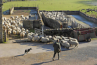 Moving Swaledale ewes in for scanning, Middle Lee, Abbeystead, Lancashire