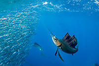 Atlantic sailfish, Istiophorus albicans, seizes a fish out of a bait ball of Spanish sardines (aka gilt sardine, pilchard, or round sardinella), Sardinella aurita, off Yucatan Peninsula, Mexico (Caribbean Sea)